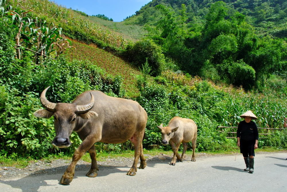 Image of Water Buffaloes in Vietnam from Worldly Nomads