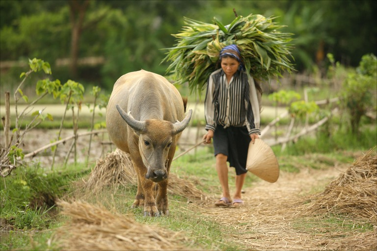 Water buffalo being led along rice paddy in Mai Chau Valley by Declan McCullagh
