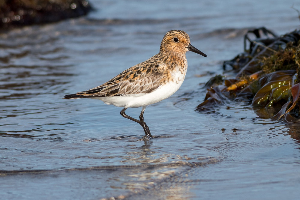 Little Stint in Sandfjord near Hamningberg.