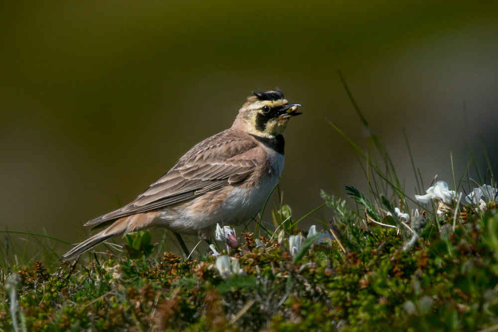 Horned Lark near Svartnes.