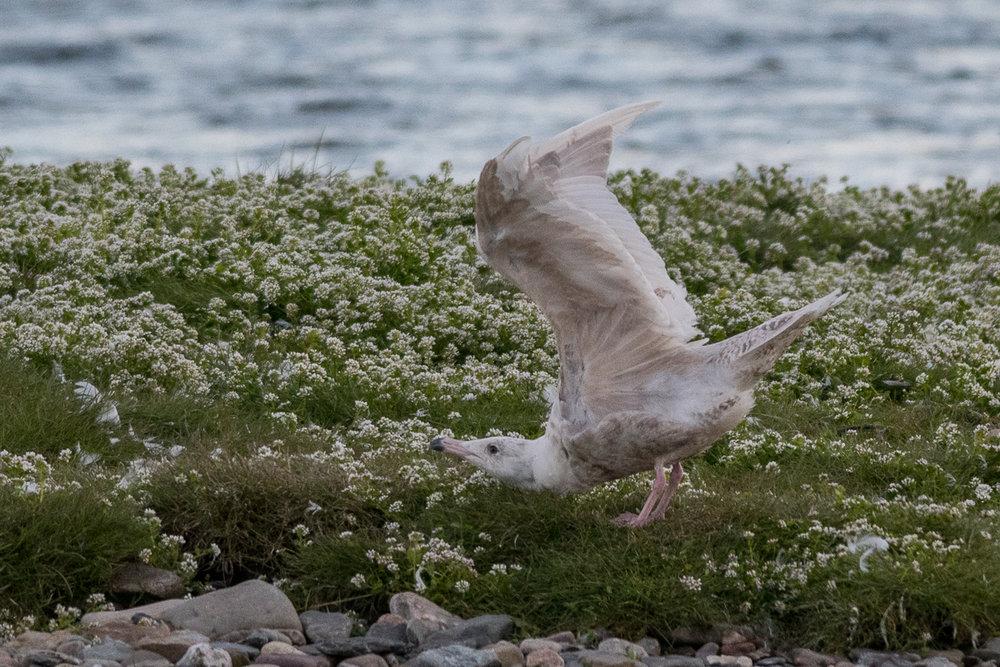 A Glaucous Gull in Berlevåg
