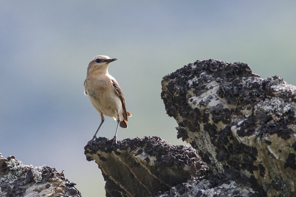 Northern Wheatear in Sandfjord.