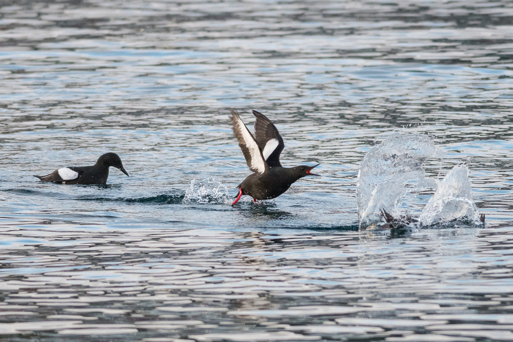 Courtship of Tysties/Black Guillemots at Veines.