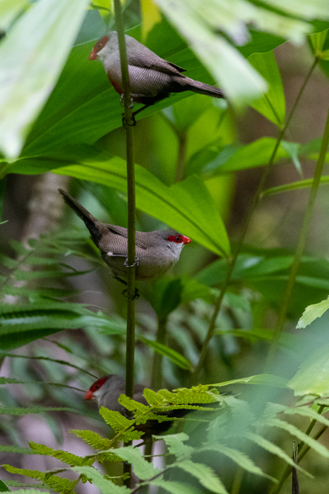 Common waxbills often occur in large flocks.