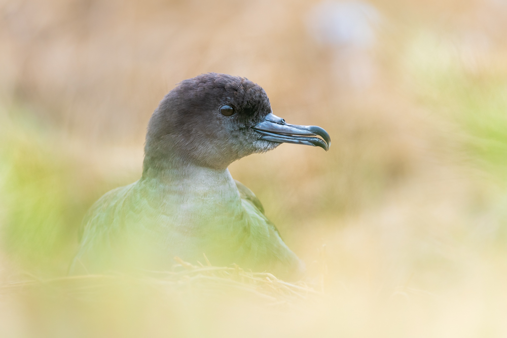 Portrait of a wedge-tailed shearwater.