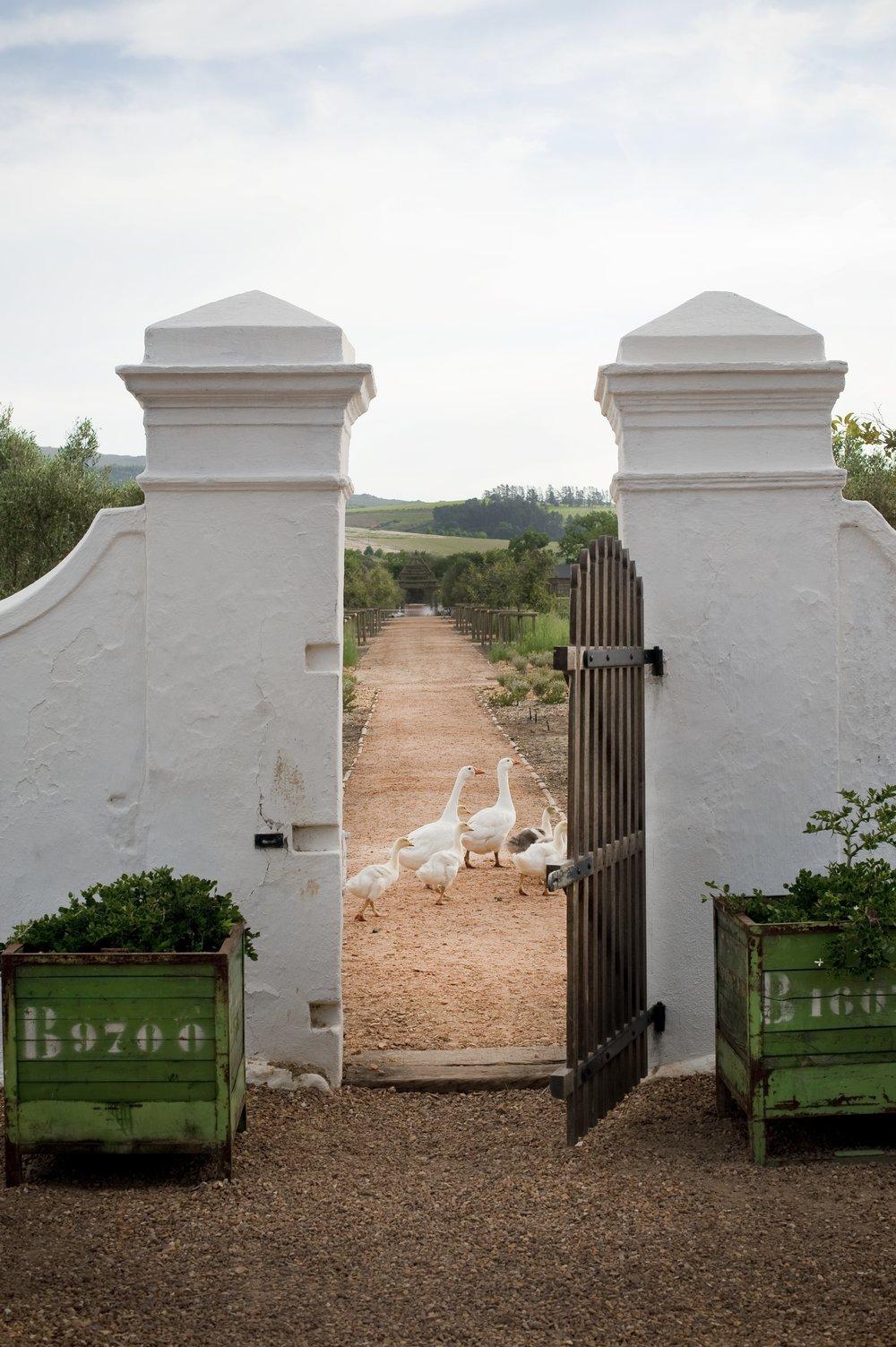 5.Geese parading into kitchen garden.jpg