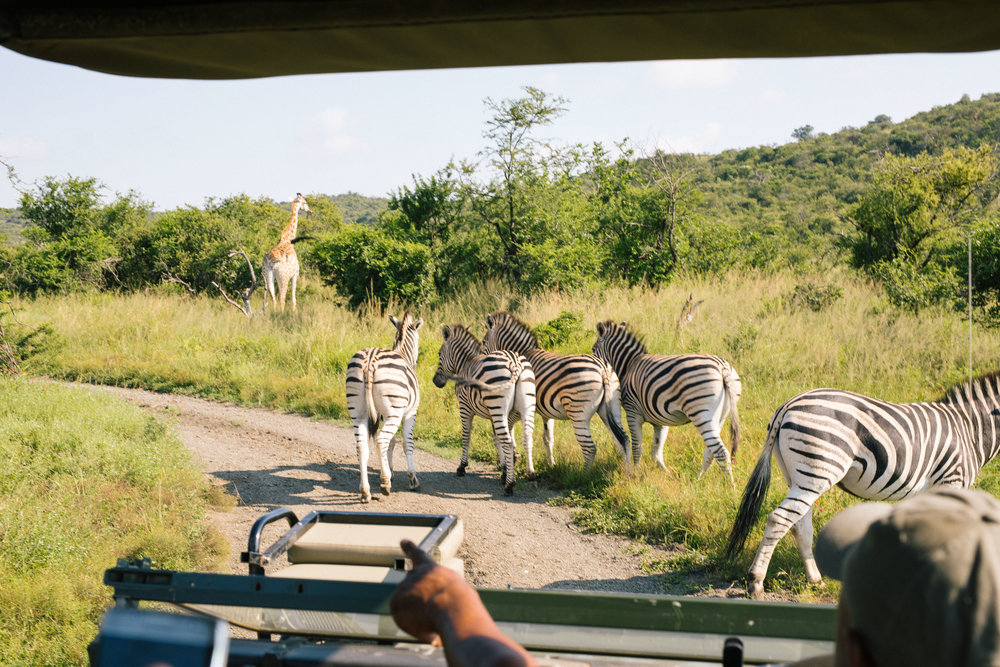 A dazzle of zebras and a giraffe.