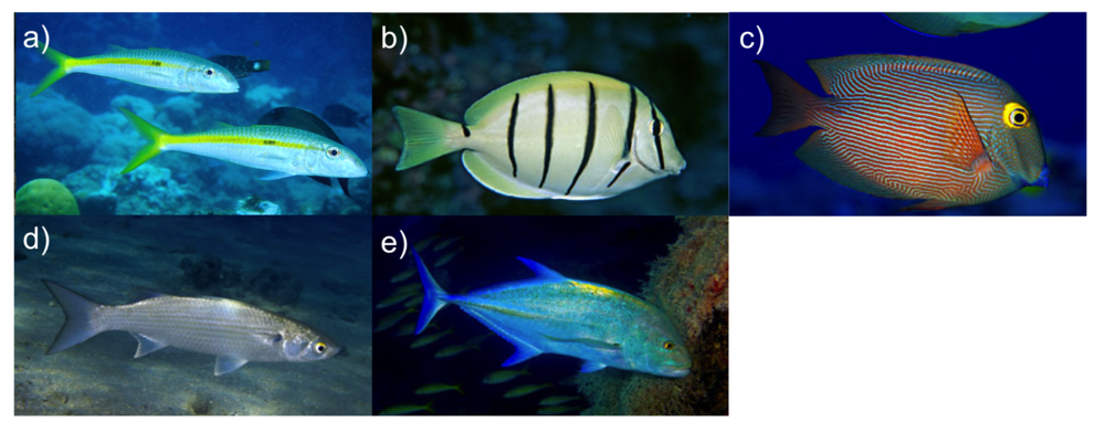 Targeted fish species: a) M ulloidichthys flavolineatus  (wekeʻa), b)  Acanthurus triosteges sandvicensis  (manini), c)  Ctenocheatus strigosus  (kole), d)  Mugil cephalus  (ʻamaʻama), e)  Caranx melampygus  (ʻomilu).  Photos: Keoki Stender