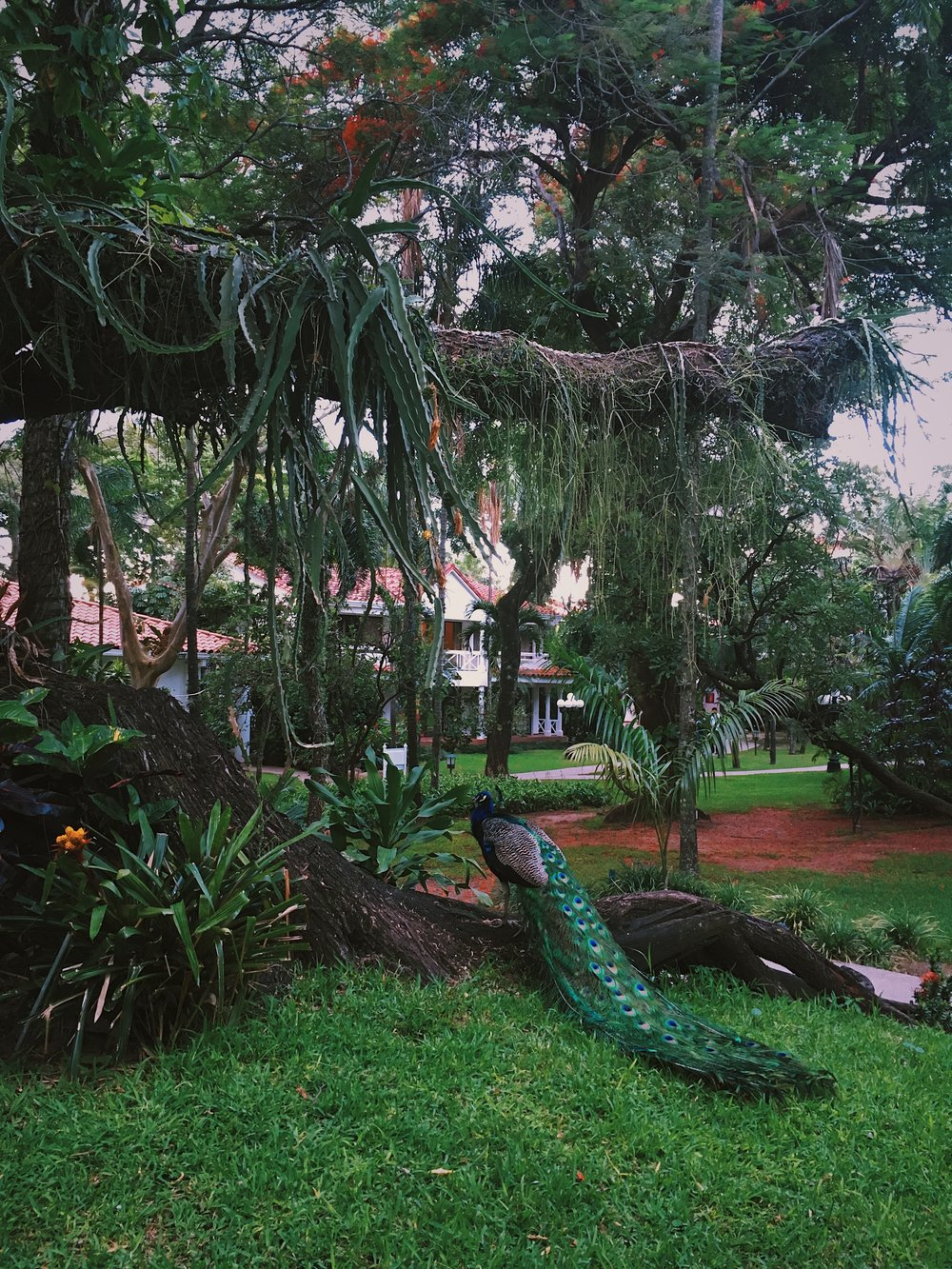 Fertile and lush grounds of Los Tajibos Hotel and Convention Centre where peacocks and peahens roam freely.