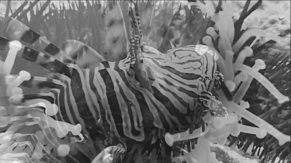 "Film still of Tamika Galanis' film work, ""When The Lionfish Came"" (2015), warning about the impending crises of lionfish and colonial perpetuations. This work is currently on display as part of the current Permanent Exhibition, ""Hard Mouth: From the Tongue of the Ocean""."