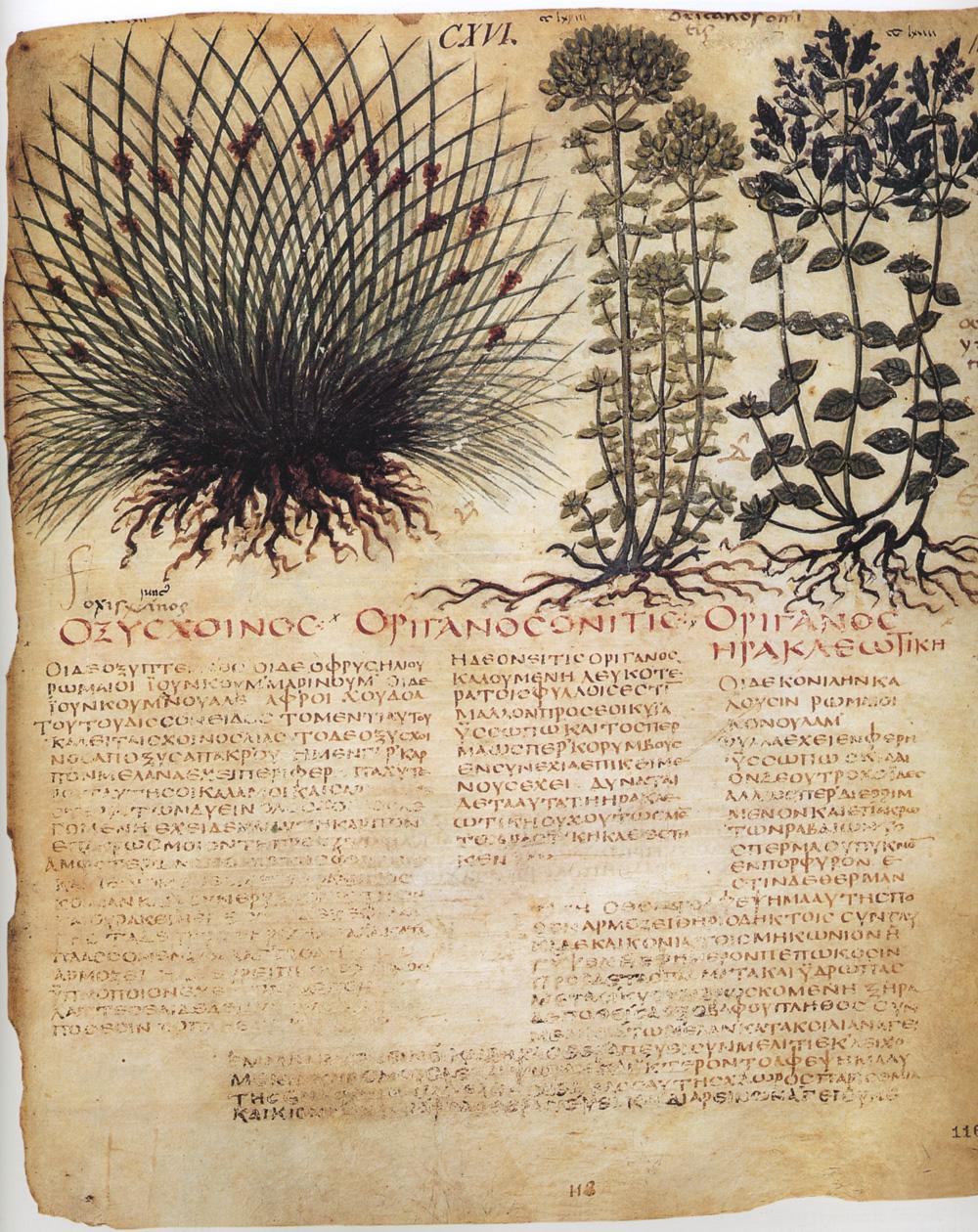 Dioscorides Neapolitanus Wikipedia