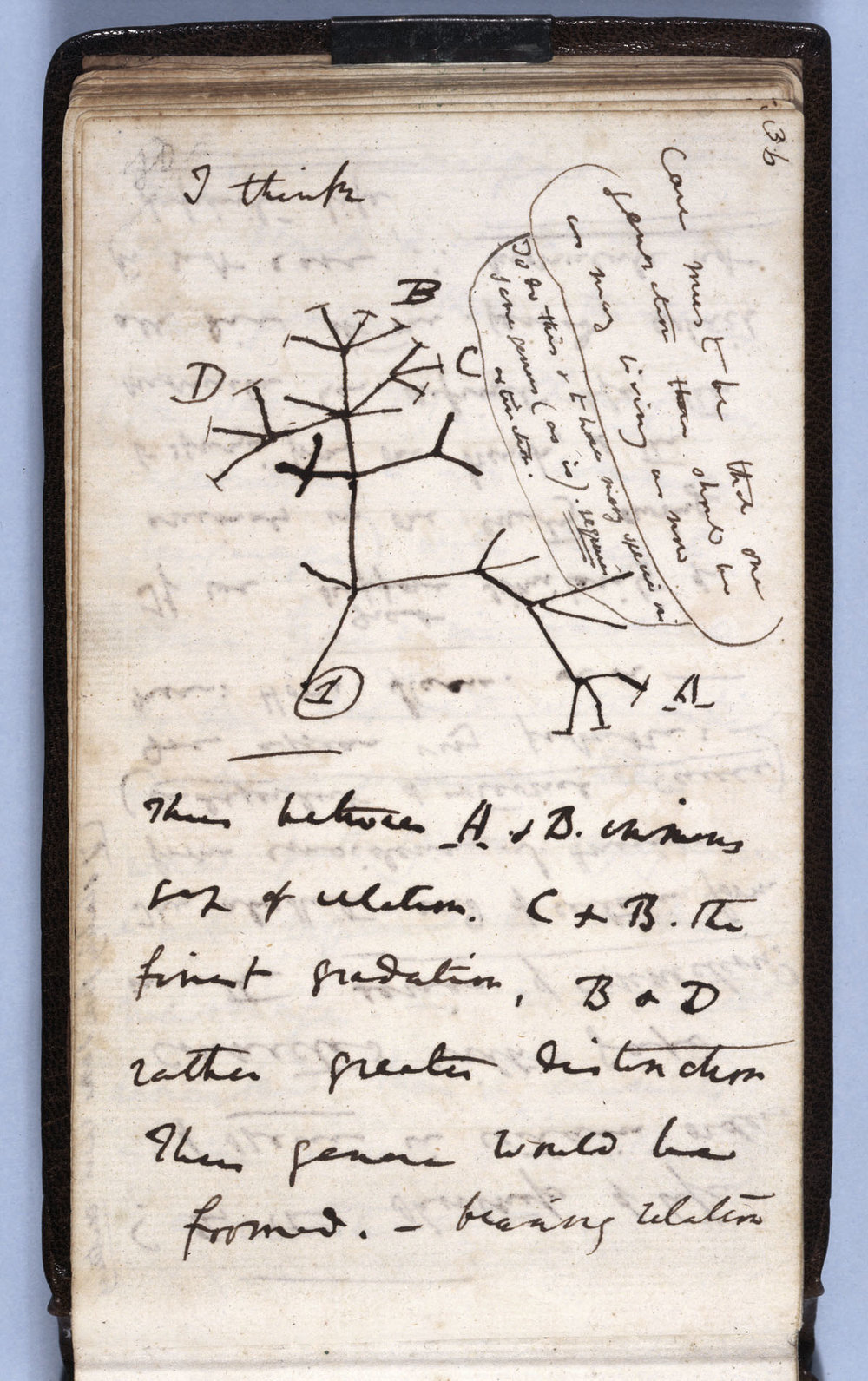 "Charles Darwin-  The ""I think"" tree from  Notebook B  (1837)"