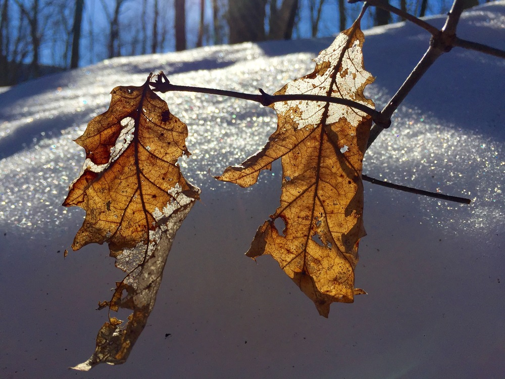 Dead oak leaves over snow on Signal Knob, in Virginia's George Washington National Forest. (Photo by AE)