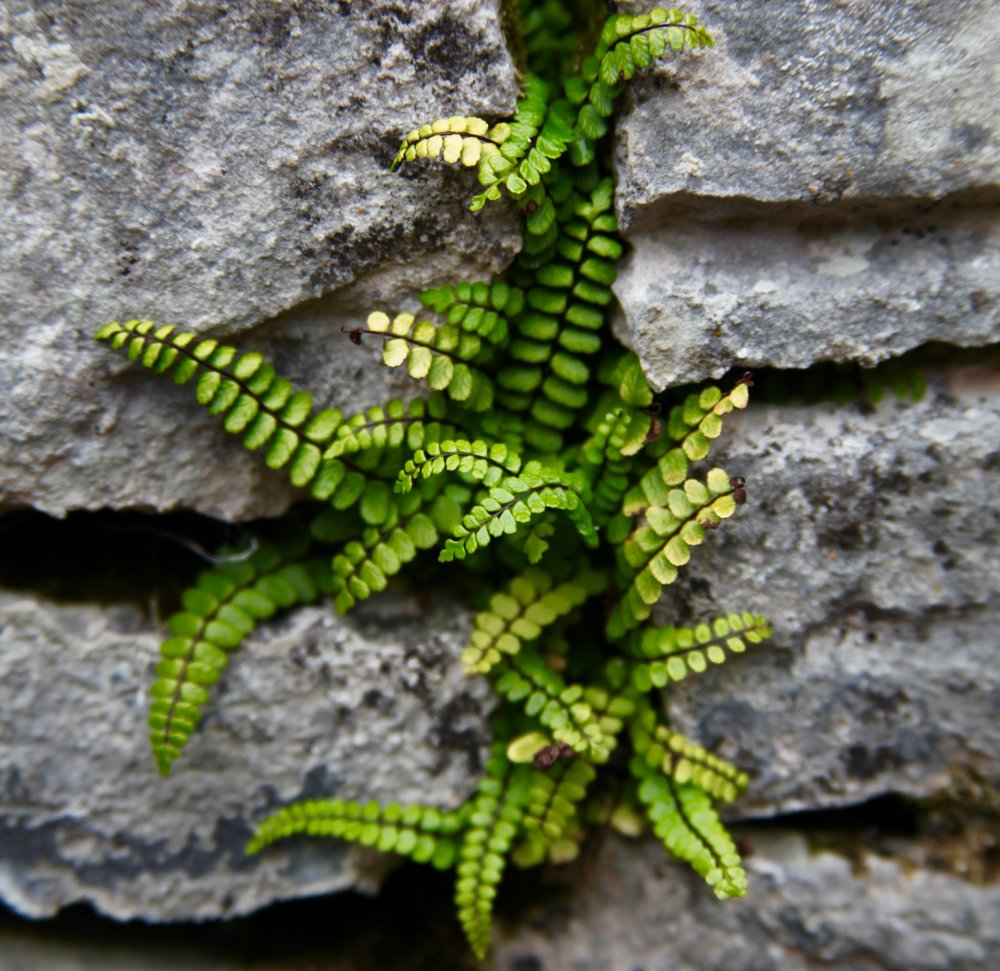 Green ferns grow from the ancient hand-built walls of Inis Oírr (Photo by Andrew Evans)