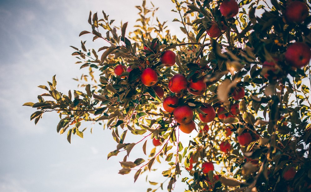red apple tree.jpg