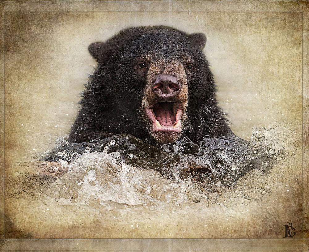 Black Bear Swim