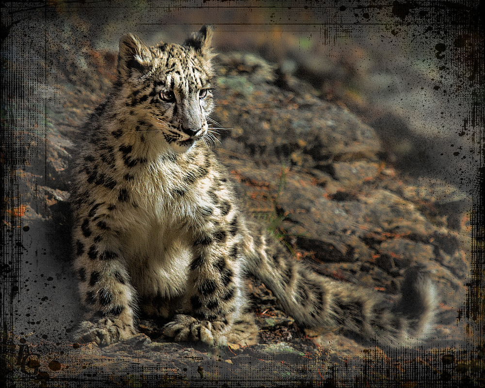 Snow Leopard on Cliff