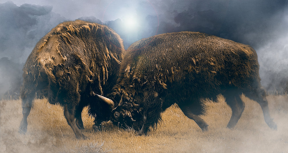 Bison Bulls Battle
