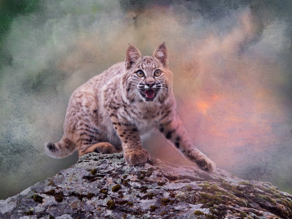 Early Morning Bobcat