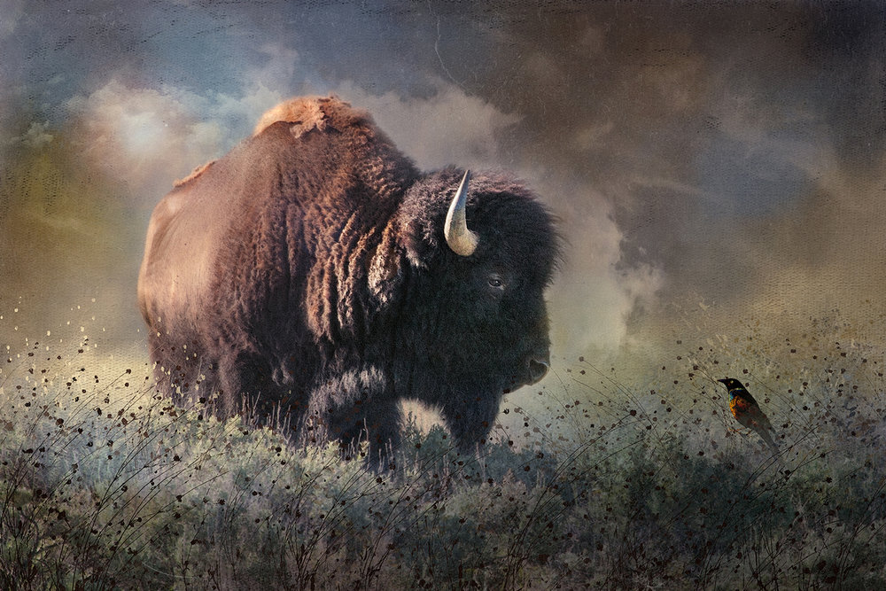 Bison Bull and Cowbird
