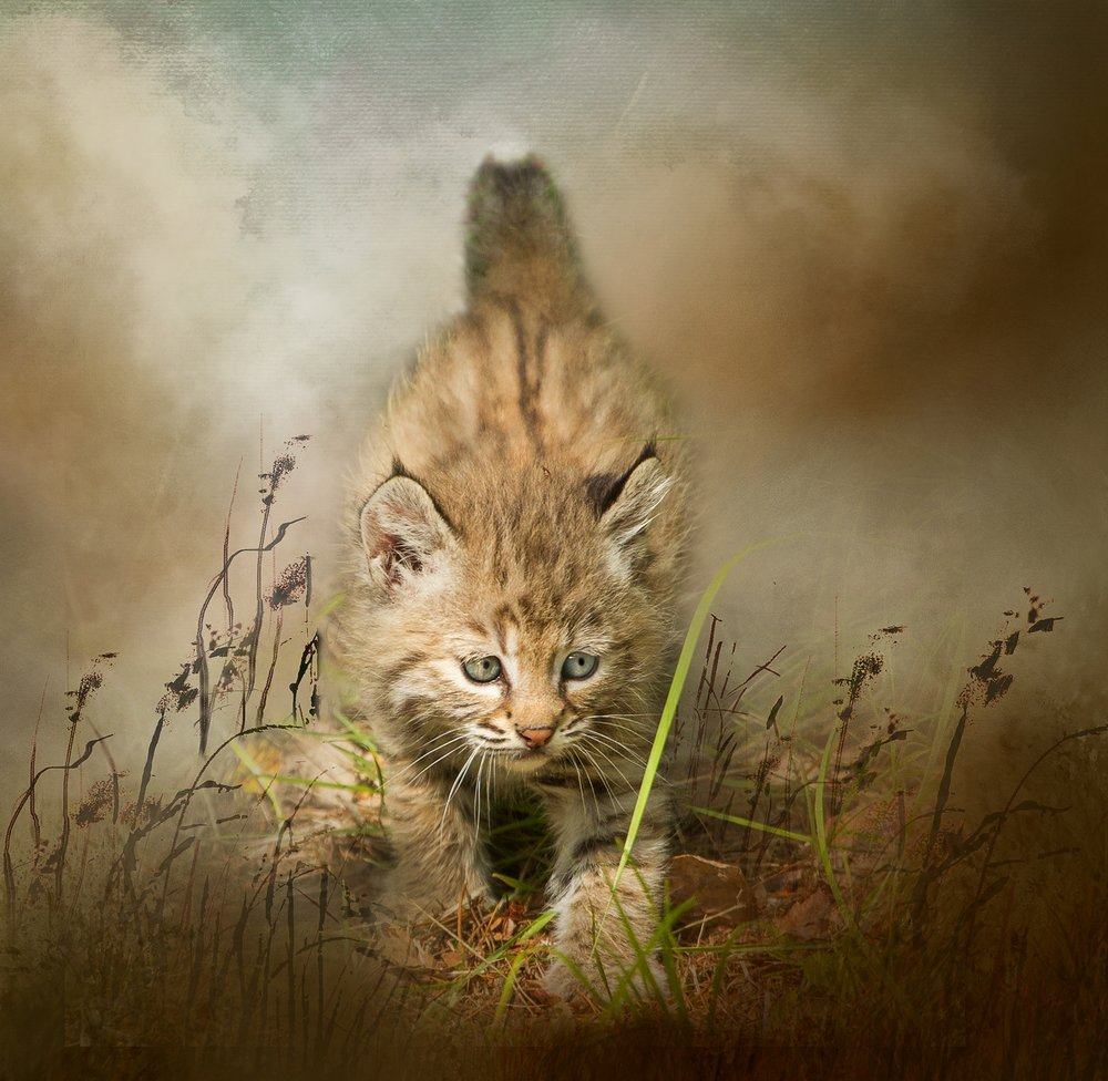 Bobcat Kiten