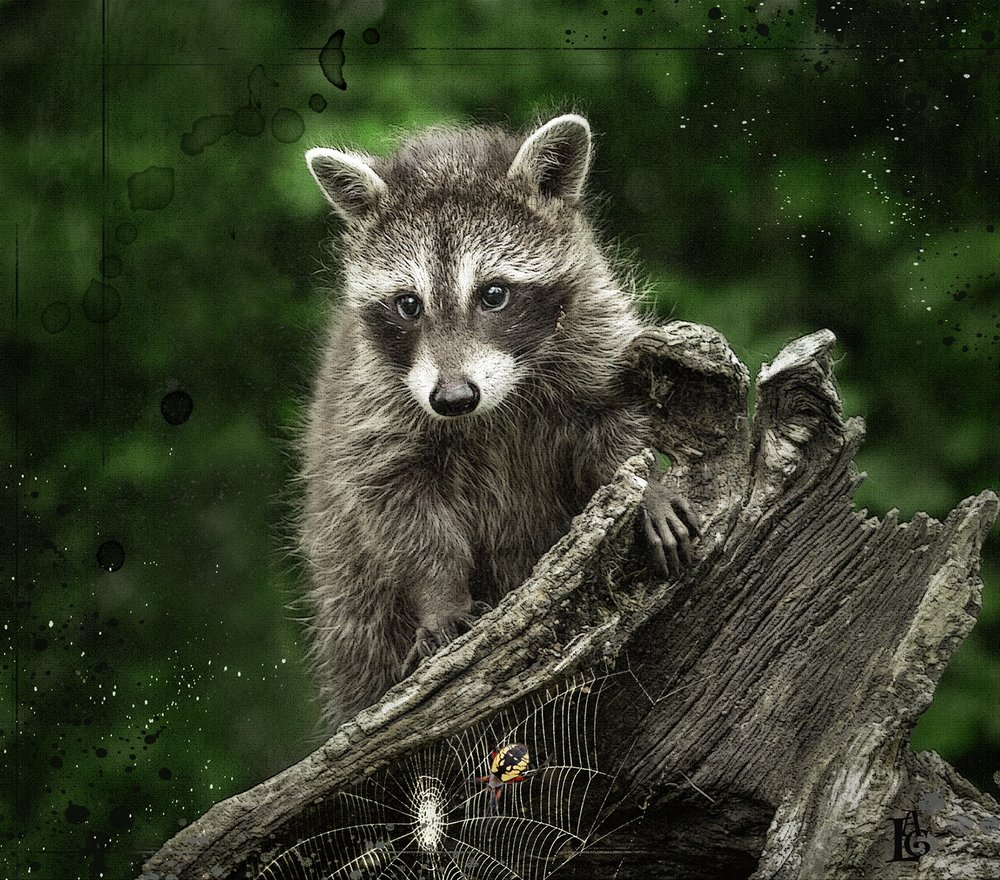 Raccoon on Stump