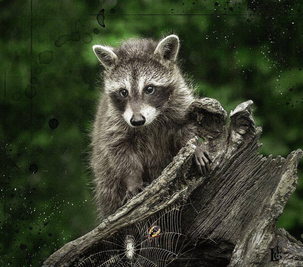 Raccoon on Stump