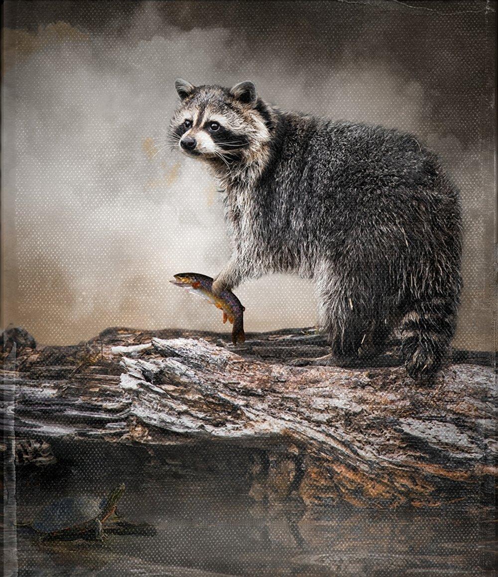 Fishing Raccoon