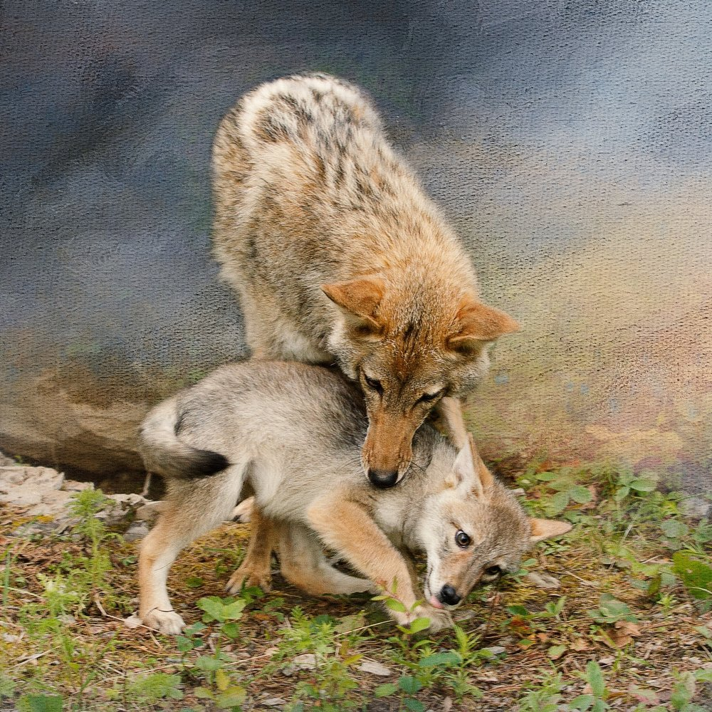 Playful Coyotes