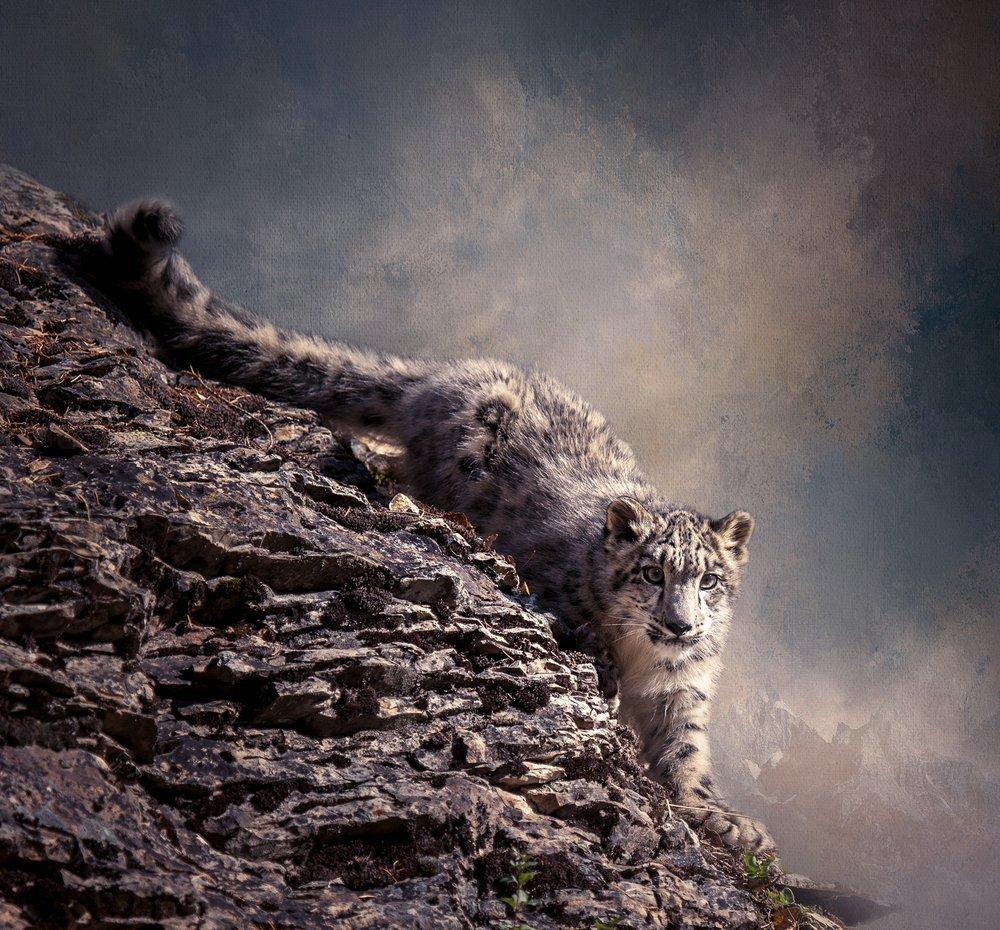 Snow Leopard on Cliff