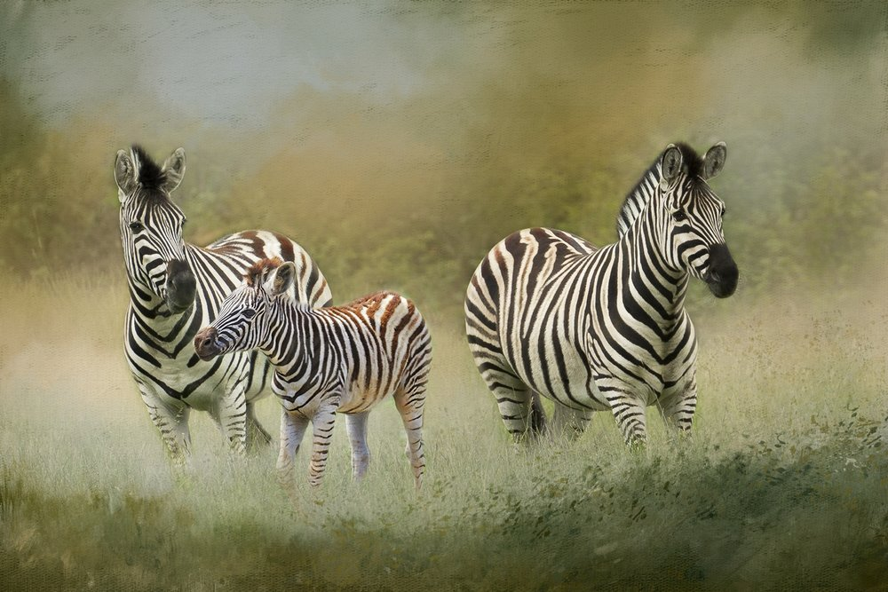 Zebras and Foal