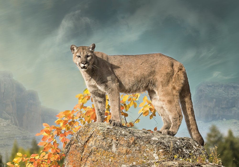 Cougar In Autumn