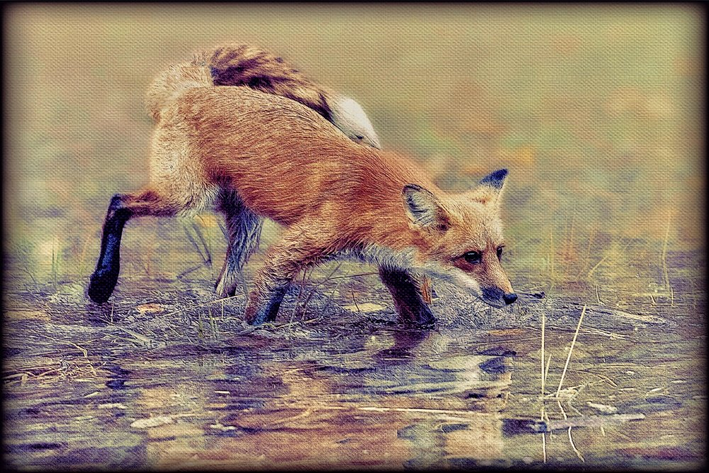 Fox Crossing a Creek