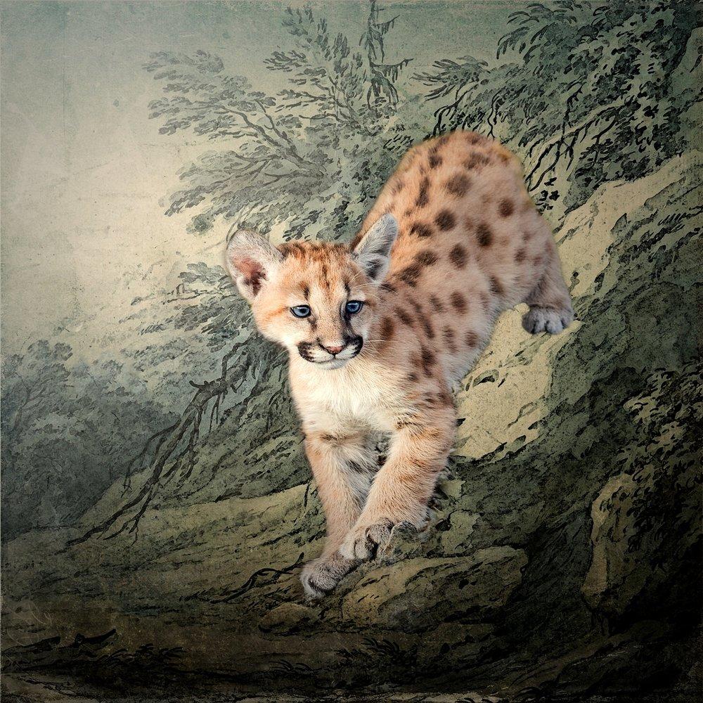 Cougar Kitten Descending a Ledge