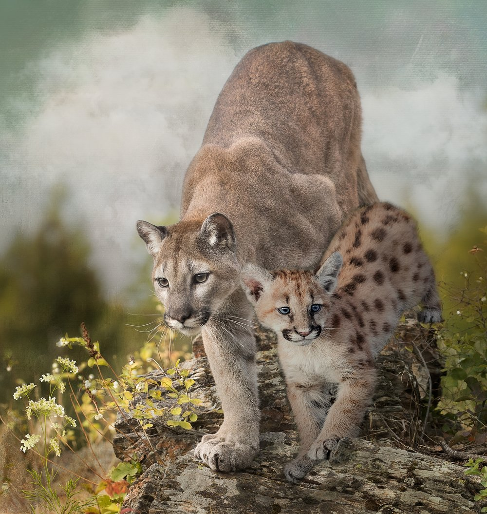 Cougar and Kitten