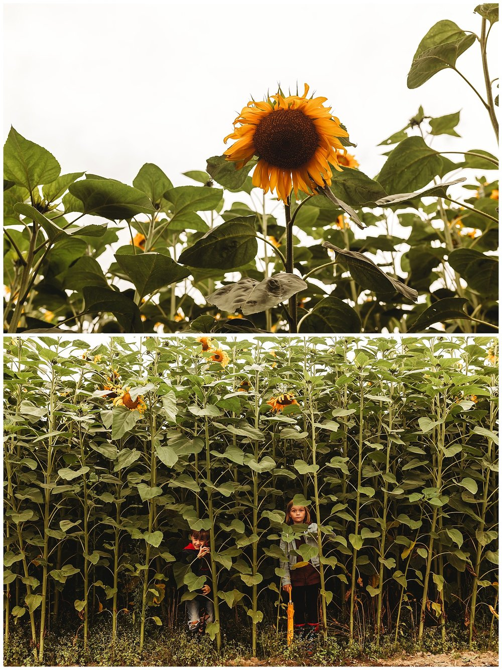 Chilliwack Sunflower_6.jpg