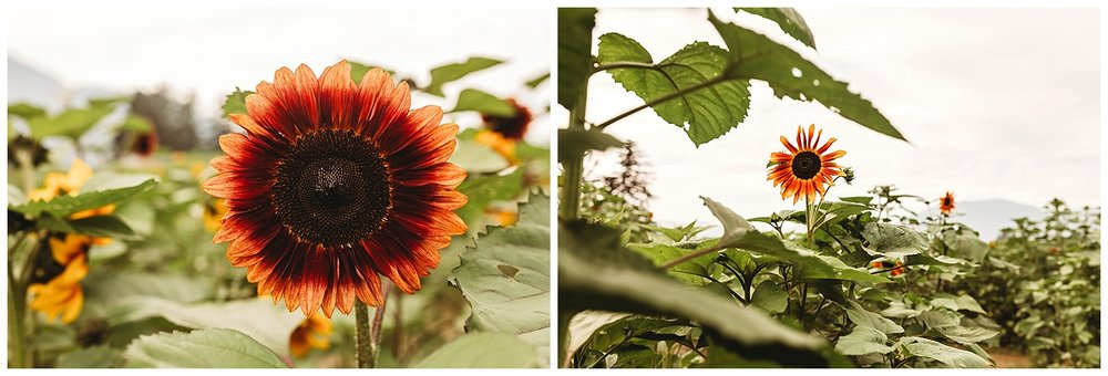 Chilliwack Sunflower_16.jpg