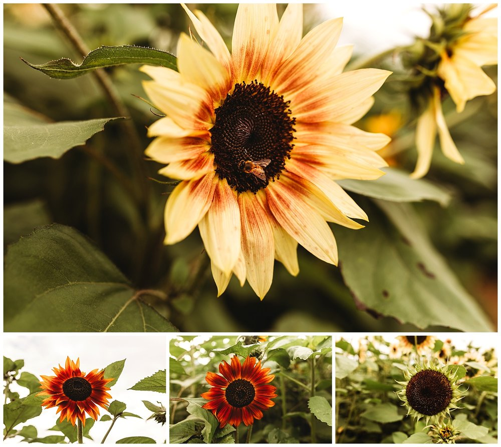 Chilliwack Sunflower_22.jpg