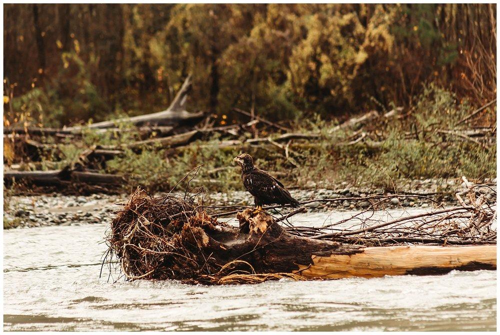 Eagles Vedder River Chilliwack 1.jpg
