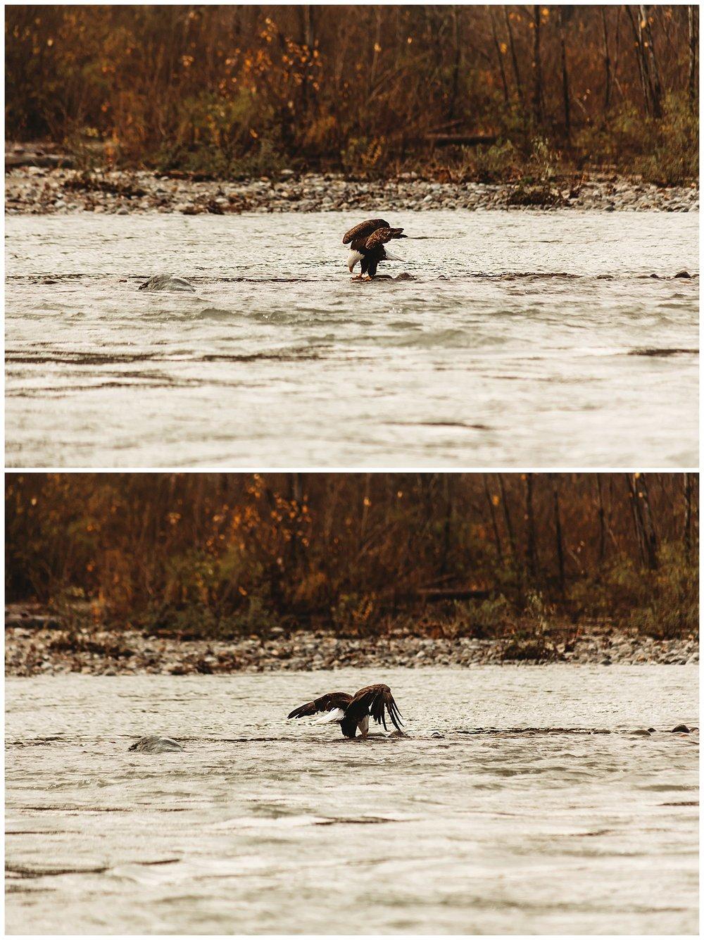 Eagles Vedder River Chilliwack 3.jpg