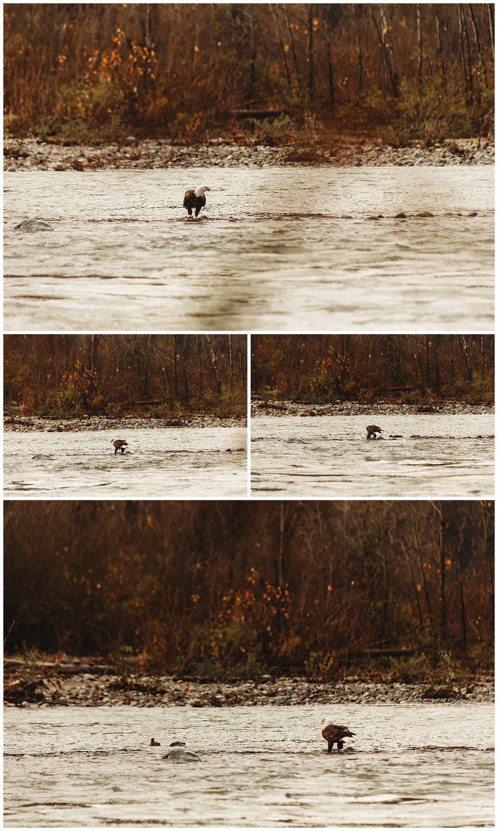 Eagles Vedder River Chilliwack 2.jpg