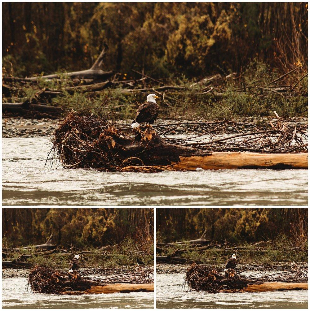 Eagles Vedder River Chilliwack 5.jpg