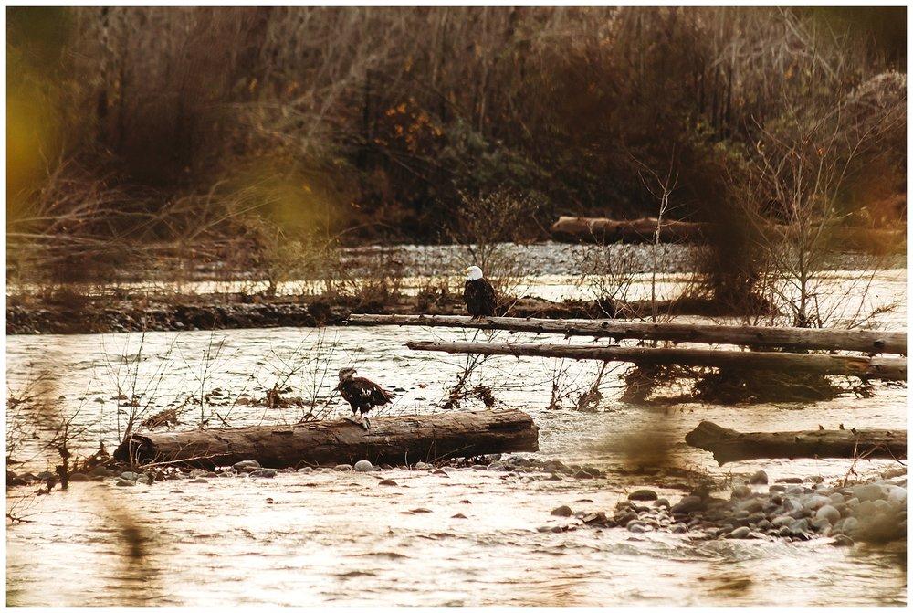 Eagles Vedder River Chilliwack 8.jpg