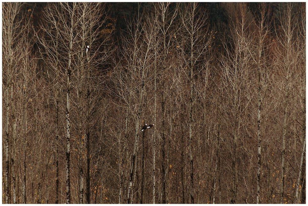 Eagles Vedder River Chilliwack 10.jpg