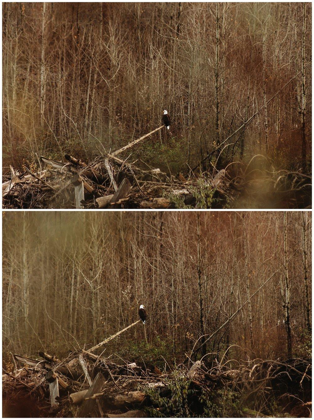 Eagles Vedder River Chilliwack 11.jpg