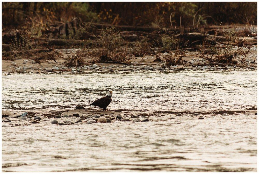 Eagles Vedder River Chilliwack 12.jpg