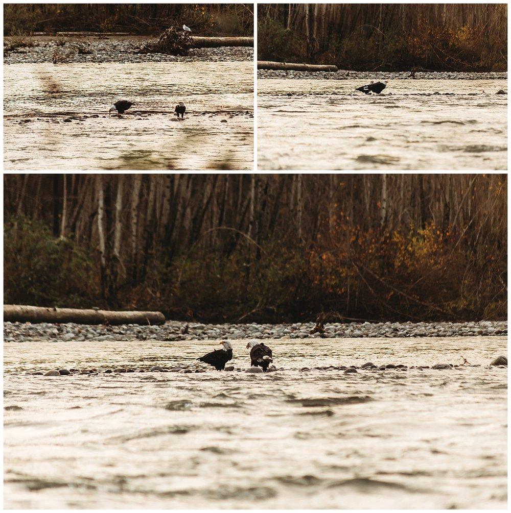 Eagles Vedder River Chilliwack 14.jpg