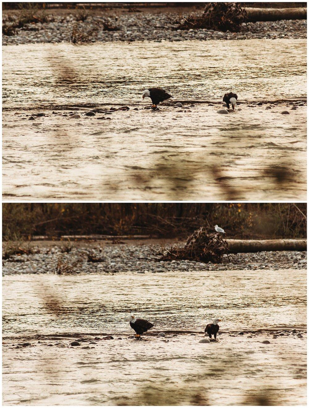 Eagles Vedder River Chilliwack 13.jpg
