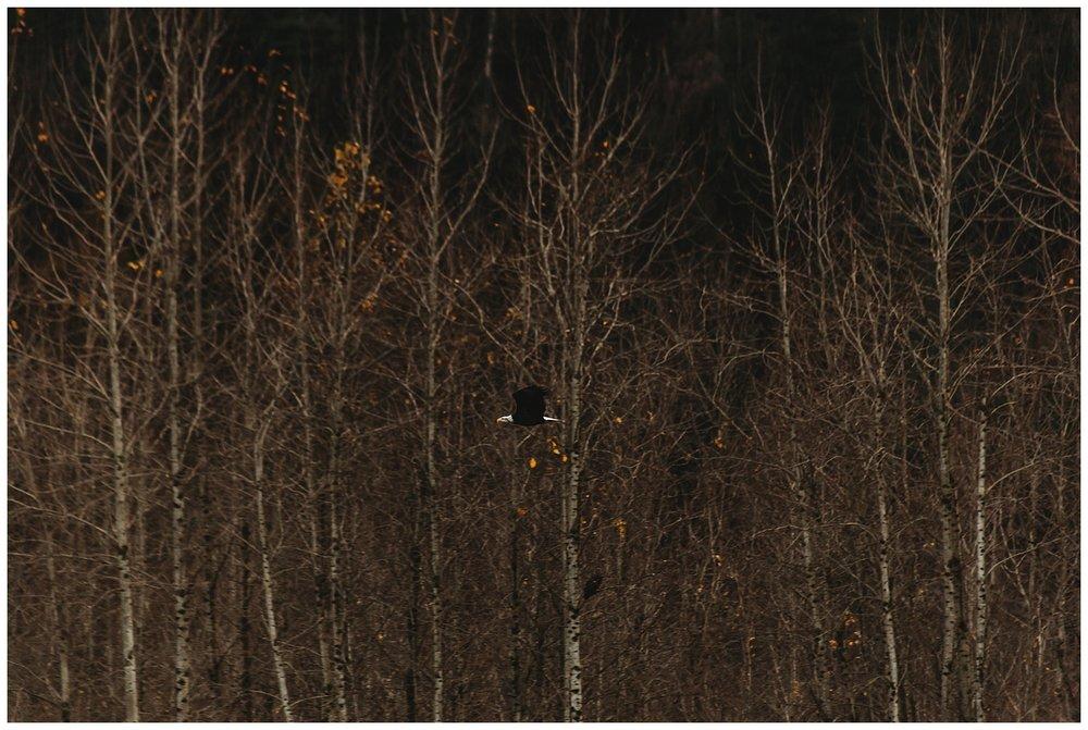 Eagles Vedder River Chilliwack 15.jpg