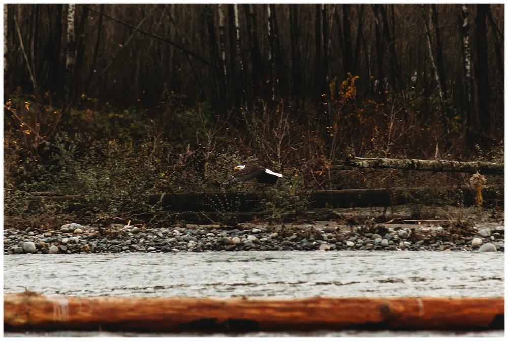 Eagles Vedder River Chilliwack 16.jpg